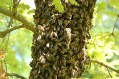 pszczół dębowy mrowia drzewo obraz stock