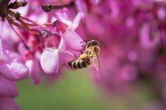 Pszczół gromadzenia się miodowi od purpur kwitną na drzewie Obrazy Stock