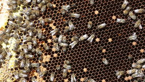 pszczół komórek zamknięty miodowy macro w górę działania zdjęcie wideo