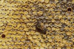 pszczół pojęcia honeycomb drużyny pracy działanie zdjęcia royalty free