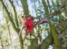 Pszczół wizyt kwiatu czerwona akacja, Tucson, AZ fotografia royalty free