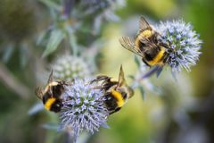 Pszczół zbierać wyśmienicie, słodki, nektar na błękicie kwitnie na pogodnym letnim dniu Selekcyjna ostrość obraz stock