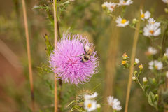 Pszczół kolana Zdjęcie Royalty Free