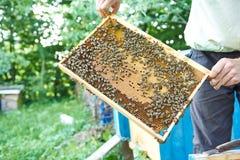 Pszczelarka pracuje w jego pasieki mienia honeycomb ramie Obraz Stock