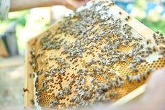 Pszczelarka pracuje w jego pasieki mienia honeycomb ramie Obrazy Royalty Free
