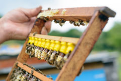 Pszczelarka sprawdza ramę która podnosił nowe królowych pszczoły Karl Jenter Apiculture Obrazy Stock