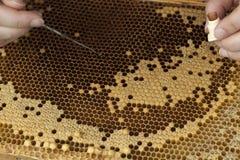 Pszczelarka target538_0_ dla jajek Zdjęcie Stock