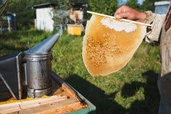 Pszczelarka tnący kawałek larwy honeycomb w pasiece out Fotografia Stock