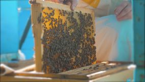 Pszczelarka trzyma honeycomb pszczoły pełno Pszczelarka sprawdza honeycomb ramę przy pasieka stylem życia Beekeeping pojęcie zbiory wideo