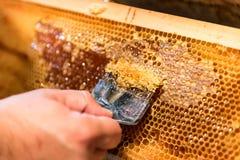 Pszczelarka usuwa wosków dekle od honeycombs ram fotografia royalty free