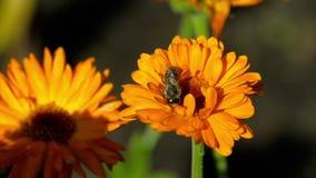 Pszczoła na pomarańczowym nagietku zdjęcie wideo
