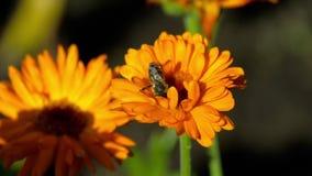 Pszczoła na pomarańczowym nagietku zbiory