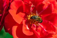 Pszczoła w zbliżeniu na czerwonym okwitnięciu zdjęcie royalty free