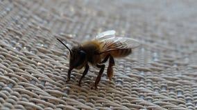 Pszczoła ładna Obrazy Royalty Free