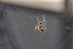 Pszczoła łapiąca w spiderweb Fotografia Royalty Free