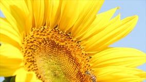 Pszczoła zbiory