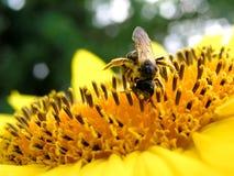 Pszczoła 4 i słonecznik Fotografia Royalty Free