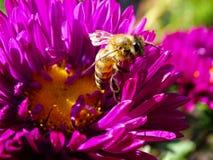 Pszczoła Zdjęcie Royalty Free