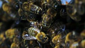 Pszczoła zdjęcie wideo