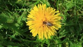 Pszczoła zbiory wideo