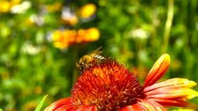 Pszczoła bierze daleko od czerwonego kwiatu zbiory