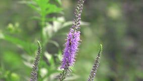 Pszczoła bierze nektar zbiory wideo