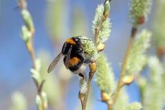Pszczoła Brière Zdjęcia Royalty Free