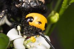 pszczoła cieśla zbiera pollen obraz royalty free