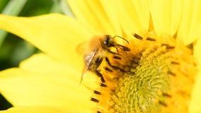 Pszczoła foraging na słoneczniku podczas pięknego późnego lata popołudnia zbiory
