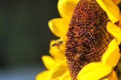 pszczoła głodna Obraz Stock