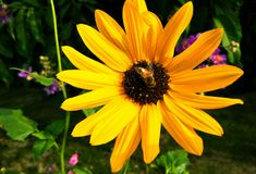 pszczoła głodna zdjęcie royalty free