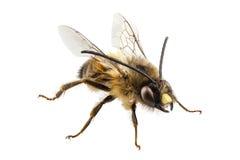 Pszczoła gatunków Eucera longicornis błonia imienia górnika Odludna pszczoła Obrazy Stock