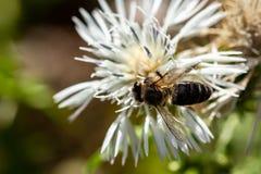 Pszczoła Gozo i biały kwiat obraz royalty free