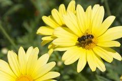 Pszczoła i żółta roślina Zdjęcia Royalty Free