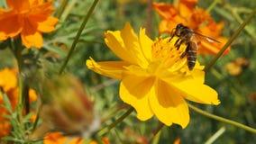 Pszczoła i żółty kwiat zdjęcia royalty free