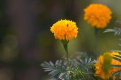 Pszczoła i żółty kwiat Obrazy Stock