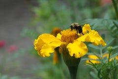 Pszczoła i żółty kwiat Obrazy Royalty Free