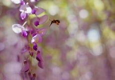 Pszczoła i żałość kwiat w Japonia obraz stock