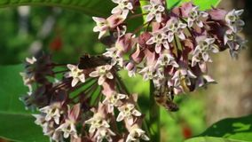 Pszczoła i Amata nigricornis motyli na trojeści zbiory wideo