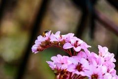 Pszczoła i bergenias w wczesnej wiośnie Obraz Royalty Free