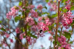 Pszczoła i menchia kwitniemy w wiośnie zdjęcie royalty free