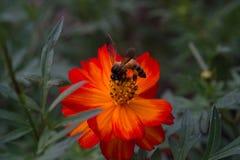 Pszczoła i pomarańczowy kwiat Fotografia Royalty Free