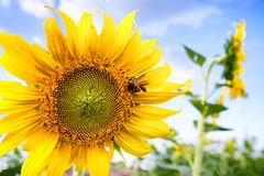Pszczoła i słonecznik zdjęcie royalty free