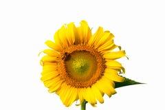 Pszczoła i słonecznik fotografia stock