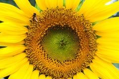 Pszczoła i słonecznik Zdjęcia Royalty Free
