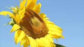 Pszczoła i słonecznik zdjęcie wideo