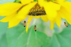 Pszczoła i słonecznik Fotografia Royalty Free