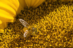 Pszczoła i słonecznik Obrazy Royalty Free