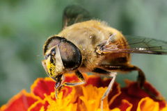 Pszczoła insekt obrazy stock