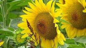 pszczoła jest pracą zdjęcie stock